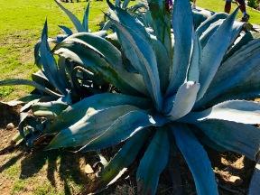 Hotel Nacional giant cactus