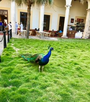 Hotel Nacional peacock