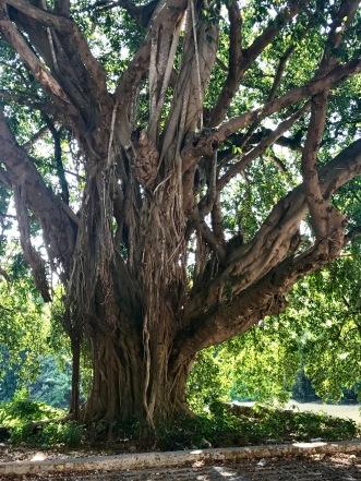 Club Almendares 5 tree