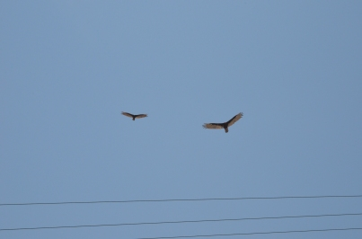 Cojimar 31 Two Hawks 1