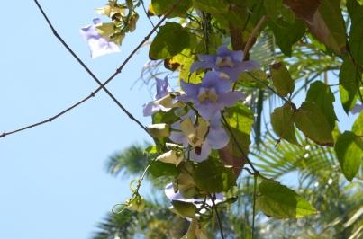 Finca Vigia 31 Purple flowers
