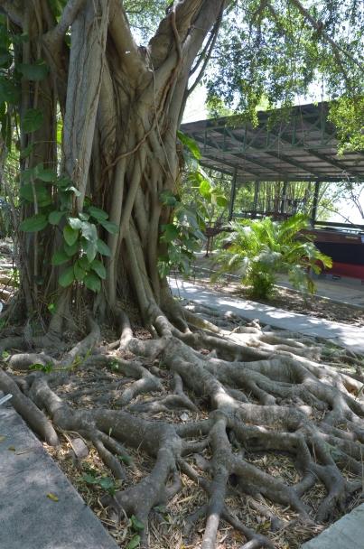 Finca Vigia 43 Tree