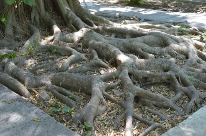 Finca Vigia 44 Tree Roots