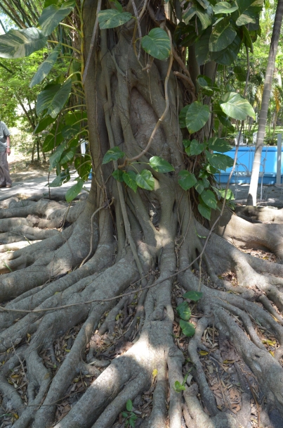 Finca Vigia 46 Tree 2